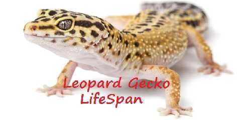 how long is leopard gecko lifespan
