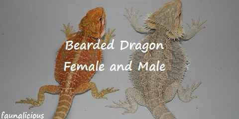 bearded dragon length