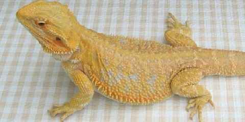 description types of bearded dragons