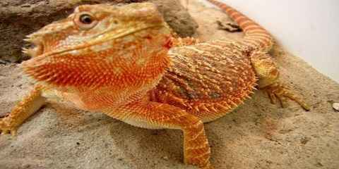 different types of bearded dragons