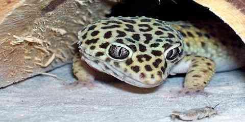 how big can a leopard gecko get