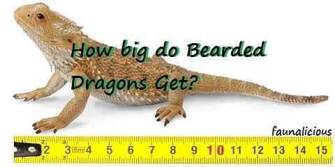 how big do bearded dragons get? the size chart