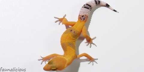 leopard gecko morphs chart