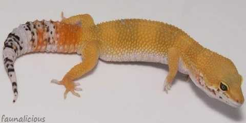 leopard gecko morphs with pictures