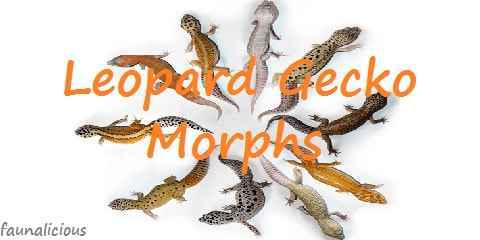 leopard gecko morphs color mutations happen in geckos