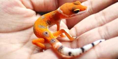 leopard gecko size chart