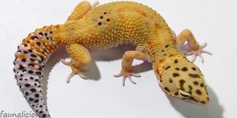 morph of leopard gecko list