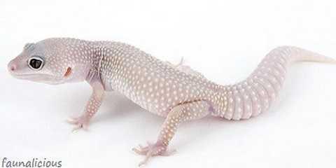 Are albino leopard geckos rare