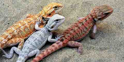 types of bearded dragons pets
