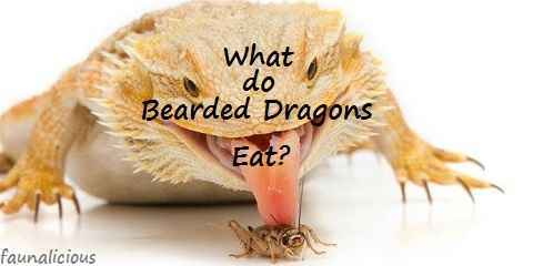 what do bearded dragons eat daily