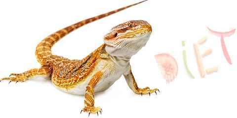 bearded dragon diet fruit greens veggies