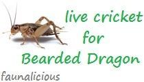 bearded dragon diet plan list