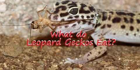 what do leopard geckos eat