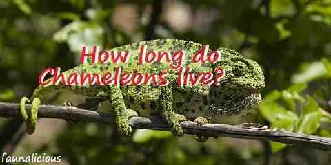 chameleon lifespan
