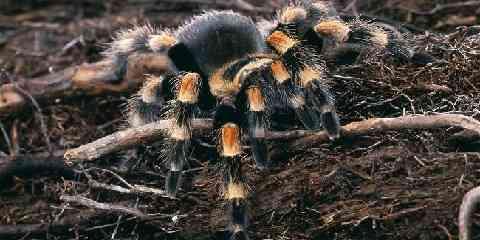 brachypelma smithi or brachipelma harmonii tarantulas
