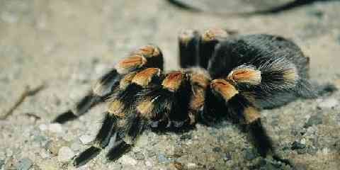 mexican red knee tarantula for sell price how to care facts habitat size lifespan diet food poisonous