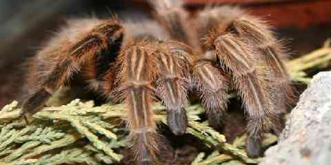 chilean rose hair tarantula facts size lifespan housing temperature habitat how to care