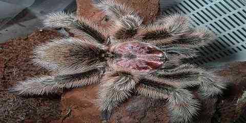 chilean rose tarantula or chilean flame tarantula or chilean red haired tarantula or chilean fire tarantula