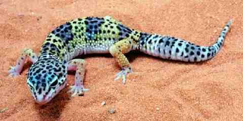leopard gecko tank setup and size