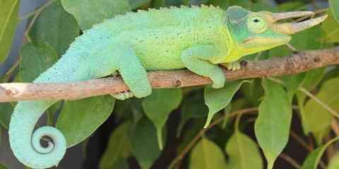 chameleon species