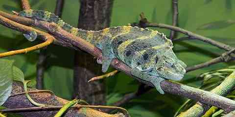 different types of chameleon species