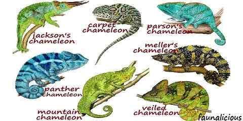 types of chameleons