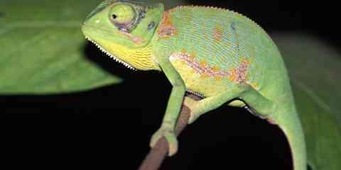types of pet chameleons