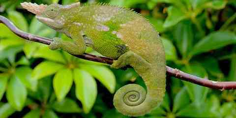what types of chameleons are good for beginners stunning list of different species of chameleons characteristics with best pictures