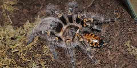 how and what to feed your pet tarantula