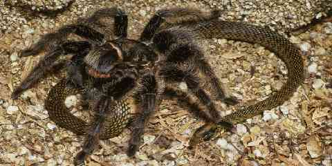 pet tarantulas are insectivores they eat beetles crickets cicadas grasshoppers sow bugs caterpillars however larger tarantula prey include frogs mice bats lizards snakes toads