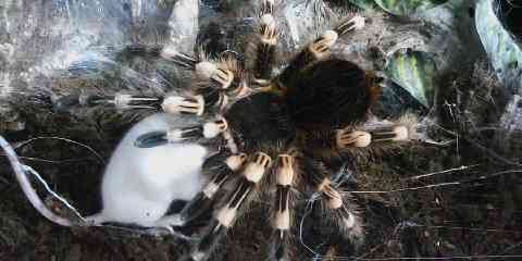 tarantula eating how often do tarantulas eat