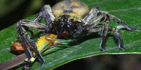 tarantula feeding