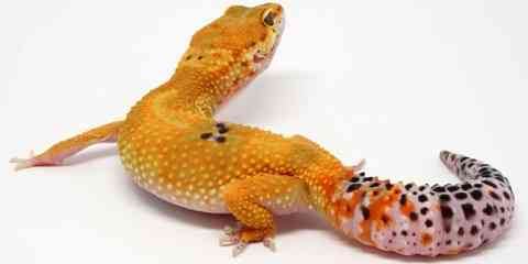 orange leopard gecko