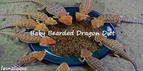 baby bearded dragon diet