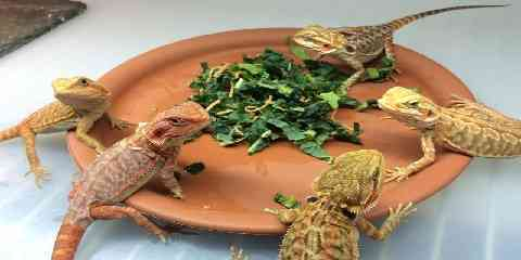 best food list for baby bearded dragons eat worms veggies