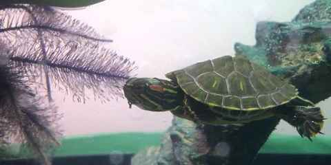 Caring for Red Eared Slider Management