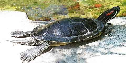 How to Care for a Red Eared Slider Turtle