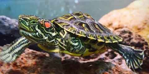 How to Take Care of a Red Eared Slider