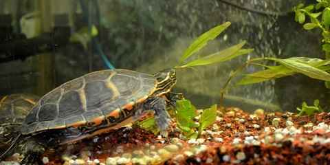 Red Ear Turtle Care