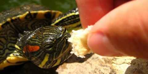 Red Eared Slider Care Sheet Information