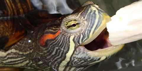 Red Eared Slider Maintenance and Treatment