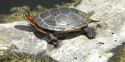 Red Eared Slider Turtle Care