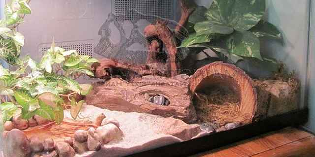 Fat Tail Gecko Morphs Habitat Care Food Facts