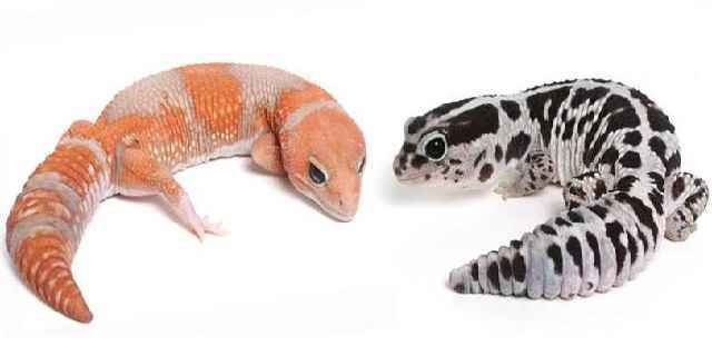 How Much African Fat Tailed Gecko Price for Sale Breeders