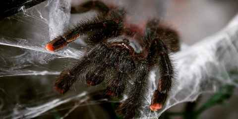 Pink Toe Tarantula Facts And How To Care