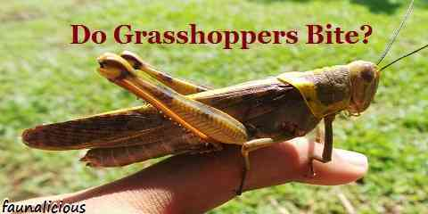 do grasshoppers bite